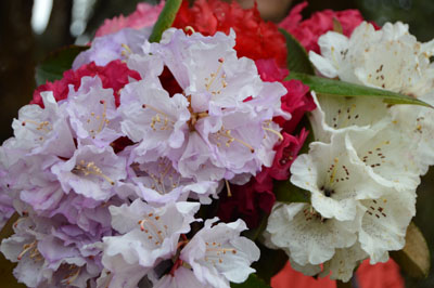 Colorful rhododendron flower, National flower of Nepal