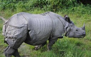 Bardia Rhino