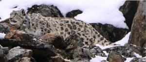 Snow Leopard with Satellite Radio Collar, Photo Khaptad national park