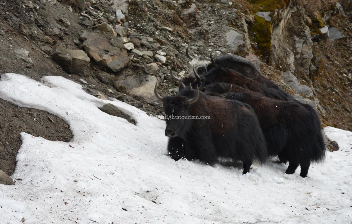 herd of yaks