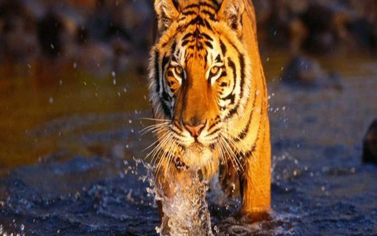 Bengal Tiger at Bardia park
