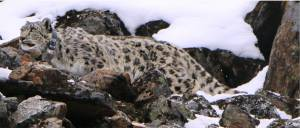 Snow Leopard with Satellite Radio Collar, Photo Khaptad national park