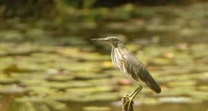 koshi tappubird