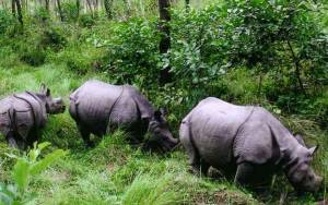 Rhinos in translocated from Chitwan national park