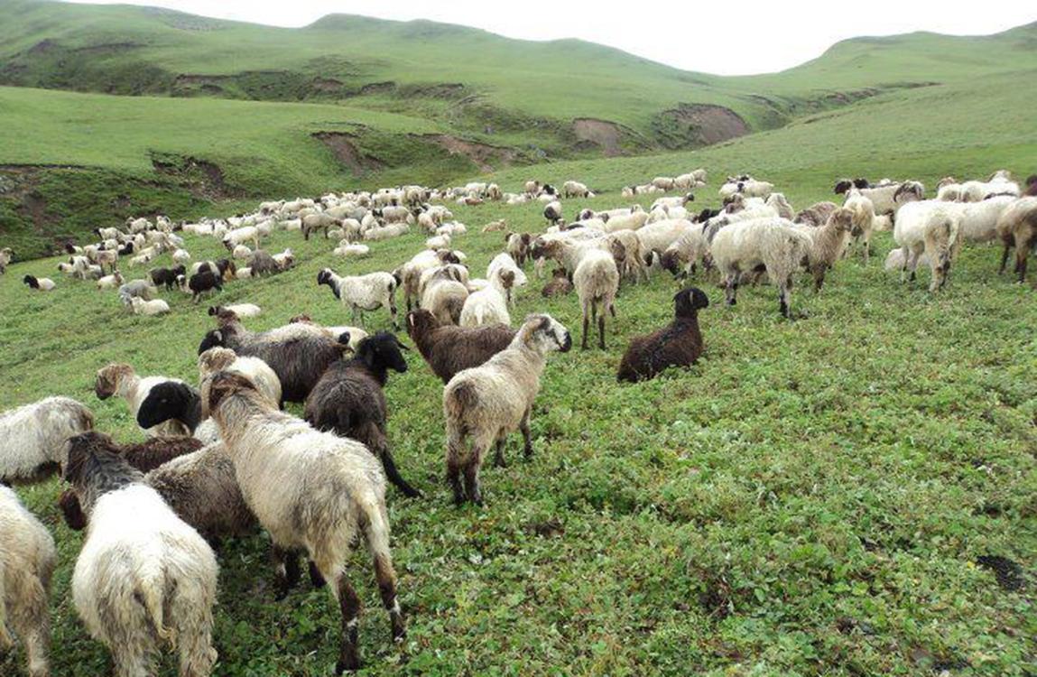 Sheep grazing in hills